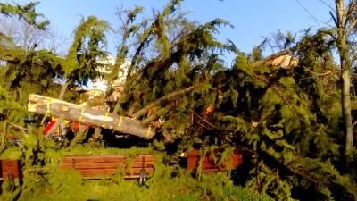 Macerata, ai giardini Diaz un cedro secolare cede alla furia del vento e si spezza