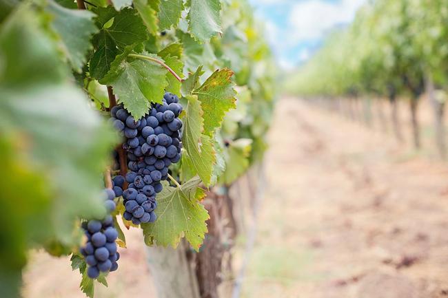 Regione Marche, contributi settore vitivinicolo: domande entro il 15 febbraio