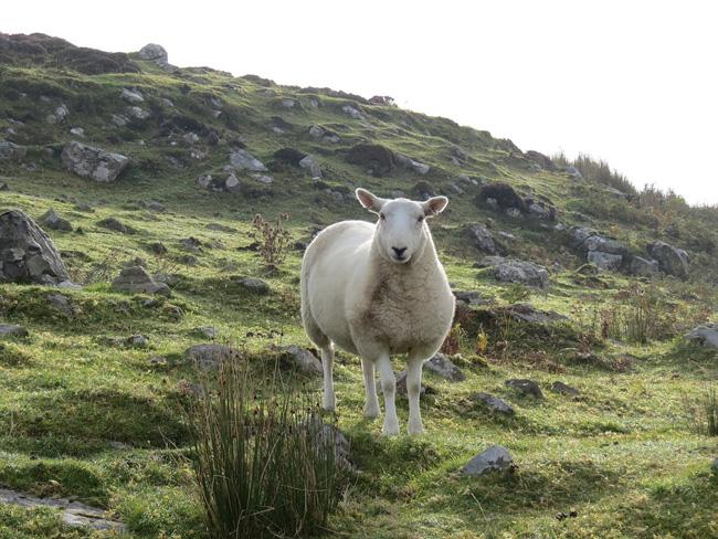 Regione Marche, Blue tongue: sostegno agli allevatori ovi caprini