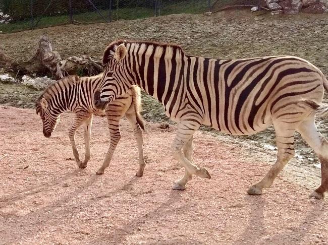 Falconara, fiocco azzurro per la nascita di un cucciolo di zebra