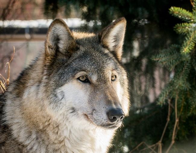 UniversItaly wolf tour il 19 marzo all'Università di Camerino