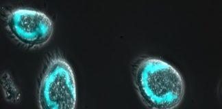 cellule euplotes